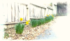 always the first signs (giggie larue) Tags: flowers botanicals daffodils thelowlyandbeloved springunderfoot