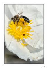 Volví a buscarte... (V- strom) Tags: macrophotography macrofotografía macrodefauna macrodeflora blanco amarillo yelow white abeja bee insecto insect flor flower jara luz light primavera springtime polen pollen estambres stamens petals pétalos
