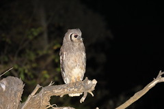 Owls (Corujas). Kruger Park. South Africa. Oct/2018 (EBoechat) Tags: owls corujas kruger park south africa oct2018