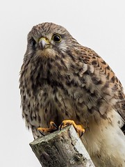 Kestrel portrait (kc02photos) Tags: kestrel falcotinnunculus gibraltarpoint lincolnshire england uk birdphotography