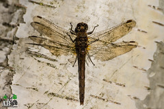 2018-11-02-004.jpg (Andy Beattie Photography) Tags: andybeattie andybeattiephotography castleford commondarter dragonfly england europe fairburnings halifax insect leeds nature naturephotography naturereserve photographer photography rspb slta77v sony sonya77 sonyalpha sympetrumstriolatum uk westyorkshire wildlife wildlifephotography yorkshire ledston unitedkingdom