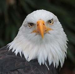 sea eagle Oliemeulen 094A1344 (j.a.kok) Tags: vogel bird oliemeulen arend eagle birdofprey