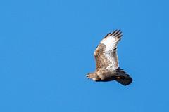Common Buzzard calling (DGooding89) Tags: common buzzard flight flying bird prey raptor calling call beak open