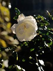 Fading rose (smcnally24601) Tags: flower flowers garden england english britain british surrey autumn fall d300 nikon
