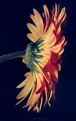 """Mi flor favorita"" (mariajoseuriospastor) Tags: gotas flowers flor gerbera macro"