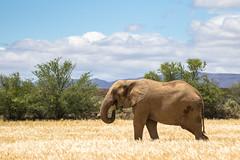 Dweller (Inti Runa) Tags: canoneos7dmarkii canonef100400mmlis safari southafrica elephant fauna fantasticnature nature travelphotography westerncape littlekaroo