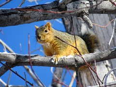 Fox Squirrel (kenjet) Tags: colorado winter cold tree trees furry eating animal squirrel foxsquirrel