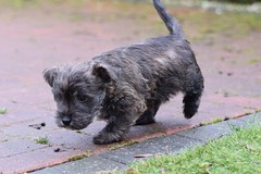 Two (2) (AlmostHome_Dog) Tags: almost home dog rescue north wales puppy puppies pup pups westie yorkie west highland terrier yorkshire