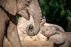 Trunk Kisses (helenehoffman) Tags: elephant conservationstatusvulnerable africansavannaelephant sandiegozoosafaripark loxodontaafricana calf africanbushelephant mammal animal