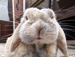 Whiskers (eveliensbunnypics) Tags: bunny rabbit lop lopeared polly outdoor outside backyard patio face closeup dimples whiskerdimples whiskers