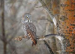Phantom of the North... (DTT67) Tags: greatgrayowl ggo 1dxmkii canon owl nature wildlife