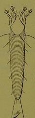 This image is taken from Page 171 of Les acariens parasites [electronic resource] (Medical Heritage Library, Inc.) Tags: acari arachnid vectors wellcomelibrary ukmhl medicalheritagelibrary europeanlibraries date1892 idb20406186
