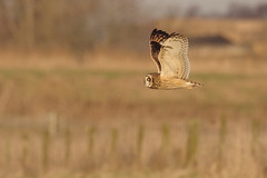 IMGP5350a Short-eared Owl, Burwell Fen, December 2016 (bobchappell55) Tags: shortearedowl asioflammeus bird flight burwellfen cambridgeshire