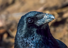 Rainham Crow portrait in November