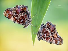 Twins. (Ireneusz Irass Waledzik) Tags: irass insect ireneusz waledzik wing bug butterfly araschnia levana nikon nationalgeographic nature ngc naturallight natgeo aporodagond 7545 rodenstock d750 2x stacked from 25 natural light exposures