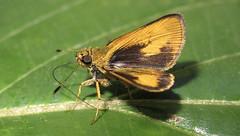 Anthoptus epictetus? (hippobosca) Tags: insect butterfly lepidoptera peru macro anatrytone hesperiidae skipper
