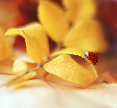 Autumn (ElenAndreeva) Tags: floral gerbera blossoming flower beautiful beauty natural tree flora yellow red light garden color autumn macro magic fall focus colors colorful reading nature bug ladybug insect new top amazing day andreeva