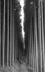Forest (Andrew Allan Jpn) Tags: monochrome blackandwhite sigma 1750 pentaxart k3 travel hiking japan forest talltrees figures contrast cedar lowkey 28 landscape
