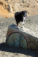 Dog on the Wall (JB by the Sea) Tags: sanfrancisco california october2018 fortfunston australianshepherd aussieshepherd aussie dog dash