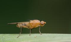 Opomyzidae (cf. Opomyza sp.) (Benjamin Fabian) Tags: opomyzidae fly diptera hexapoda arthropod insect close up macro opomyza