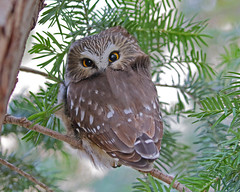 Northerrn Saw-whet Owl (Keith Carlson) Tags: northerrnsawwhetowl