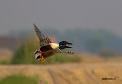 2E6A7932aaaaa (TARIQ HAMEED SULEMANI) Tags: sulemani tariq tourism trekking tariqhameedsulemani winter wildlife wild birds nature nikon