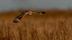 Skimming low - Short Eared Owl at Burwell Fen (irelaia) Tags: skimming low over fens short eared owl wild bird winter sunshine