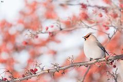 ''Jaseur dans sa bonbonnière!'' Jaseur borèal-Bohemian waxwing (pascaleforest) Tags: oiseau bird animal passion nikon nature winter hiver québec canada wild wildlife faune