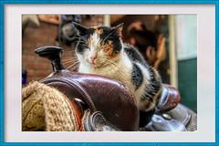 Cat at the stable (gill4kleuren - 18 ml views) Tags: pussy puss poes chat mieze katje gato gata gatto cat pet animal kitty kat pussycat poezen