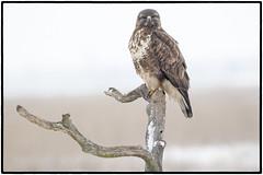 Buzzard (CliveDodd) Tags: buteobuteo buzzard