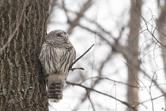 ''Quand la chouette dort...!'' Chouette rayée-Barred owl (pascaleforest) Tags: owl chouette oiseau bird animal passion nikon nature wild wildlife faune québec canada winter hiver snow neige