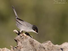 Sardinian Warbler (Sylvia melanocephala) (www.mikebarthphotography.com 2M Views thanks !) Tags: sylviamelanocephala sardinianwarbler
