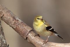 American Goldfinch (mnolen2) Tags: goldfinch bird nature