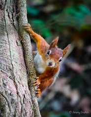 Red Squirrel (JKmedia) Tags: thedingle anglesey wales red squirrel animal mammal autumn welsh tufty tufted ears