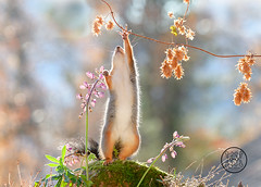 red squirrel reaching at a branch with dried flowers (Geert Weggen) Tags: animal autumn bright bud cheerful closeup cute flower foodanddrink horizontal humor land lightnaturalphenomenon mammal moss mushroom nature perennial photography plant red rodent springtime squirrel summer sweden fun fight fall couple young heath branch leaves reach camouflage rock top above high up lupine bispgården jämtland geert weggen seweden ragunda