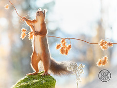 red squirrel is holding a branch with dried flowers (Geert Weggen) Tags: animal autumn bright bud cheerful closeup cute flower foodanddrink horizontal humor land lightnaturalphenomenon mammal moss mushroom nature perennial photography plant red rodent springtime squirrel summer sweden fun fight fall couple young heath branch leaves reach camouflage rock top above high up bispgården jämtland