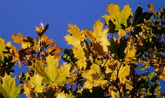 Autumn Sun | Herbstsonne (André-DD) Tags: fall herbst autumn sonne sun goldenerherbst golden laub foliage blätter blatt leaf leaves baum tree eiche oak