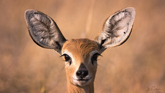 Wanna be friends? (Blende18.2) Tags: baobabs baines bainesbaobabs animal tier antilope wildlife portrait wildnis orange yellow white weis gelb black schwarz face gesicht haar hair ohr ear ears ohren lächeln smile smilingface olympus em1markii omd 420mm 840mm 300mmf40pro pro explore entdecken africa afrika botswana steenbok steinböckchen