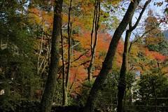 maple tree (ababhastopographer) Tags: kyoto takao kozanji momiji autumn morning acerpalmatum 京都 高雄 高山寺 楓 カエデ 紅葉 モミジ 秋 朝 haze 靄