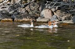 DSC_6374 (PaulPagéPhotos) Tags: ducks waterfowl mergansers aquaticbirds lakemarielouise sleepinggiantprovincialpark kayaking d500 nikon