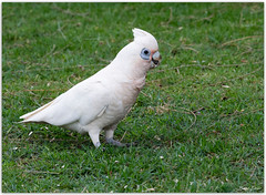 Short-billed Corella (Bear Dale) Tags: shortbilled corella cocky cockatoo parrot scientific name cacatua sanguinea ulladulla southcoast new south wales shoalhaven australia beardale lakeconjola fotoworx milton nsw nikond850 photography framed nature nikon d850 nikkor afs 70200mm f28e fl ed vr naturephotography naturaleza bird birds
