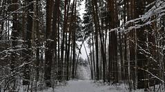 Winter in the pine forest. (ALEKSANDR RYBAK) Tags: изображения зима сезон погода природа декабрь снег мороз лес хвоя деревья ветки стволы сосна дорога images winter season weather nature december snow frost forest needles trees branches trunks pine road пейзаж landscape