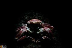 _B5A6365_porcellana_Lembeh copia (azotati2011) Tags: blacksand indonesia kalinaunresort pronimarunderwaterhousing canon7dmii macro
