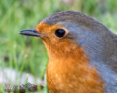 European robin (Erithacus rubecula)-5538 (George Vittman) Tags: red bird robin portrait nikonpassion wildlifephotography jav61photography jav61 fantasticnature