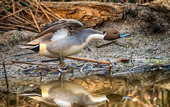 feels so good (pstrock1) Tags: goldenhour pintail fly nature water beauty marsh sky morning male wild wildlife peacefull eye bird duck wings