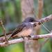 Northern Fantail (Rhipidura isura)