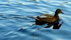 DSCN7010 oiseau aquatique 25 (lac canard chipeau) Grouchy (jeanchristophelenglet) Tags: osnyfranceparcdegrouchy canardchipeau gadwall frisada
