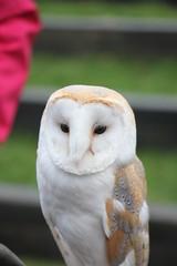 IMG_5506 (Jeff And) Tags: owl barnowl bird birdsofprey hunting