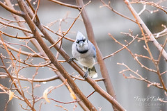 Blue Jay hanging out