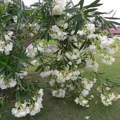 Oleander 'Madonna' 8 Nov 18 (tanetahi) Tags: white double flowers nerium oleander madonna apocynaceae garden suburban brisbane australia flowering shrub